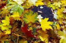 Top view of fallen autumn maple leaves by Vladislav Romensky