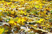 Selective focus on the yellow maple leaves on the lawn von Vladislav Romensky
