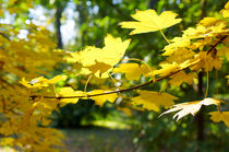Maple branch with yellow leaves in the foreground by Vladislav Romensky