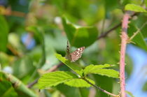 Speckled Wood Butterfly von Malcolm Snook