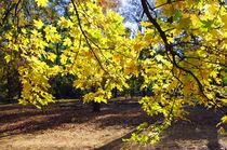 Yellow autumn maple leaves backlit by Vladislav Romensky