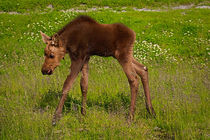 Baby Moose by Amber D Hathaway Photography