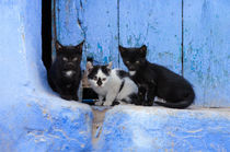 Three cats in front of a blue door by Rolf Lange
