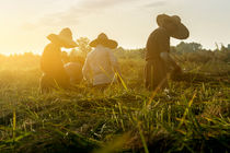 Workers-cutting-rice-in-the-fields