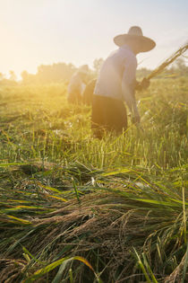 Workers-cutting-rice-in-the-paddy-field
