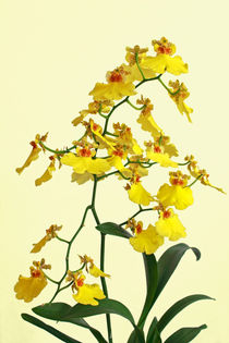 Orchideenrispe - Oncidium - orchid panicle von monarch
