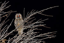 Waldohreule - Asio otus canariensis - long-eared owl by monarch