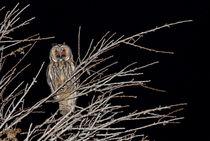 Waldohreule - Asio otus canariensis - long-eared owl von monarch