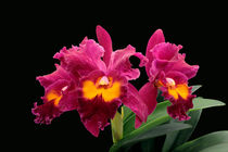 Orchidee BLC San Yang Ruby - orchid von monarch