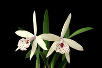 Orchideen Brassolaelia - orchids by monarch