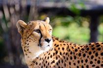 Eleganter Gepard by Lisa Stelzel