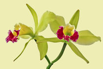 Orchidee Cattleya Green Cherry - orchid by monarch