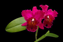 Cattleya Orchidee - cattleya orchid von monarch