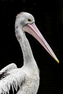 Pelikan I von elbvue von elbvue