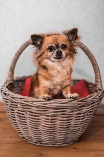 Hund Chihuahua I von elbvue von elbvue