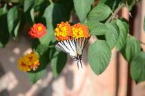Zebra Swallowtail Butterfly von Malcolm Snook