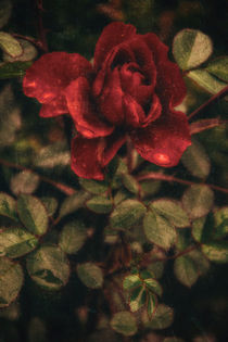 'at the rain - the red rose' von Chris Berger