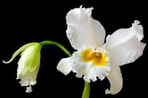 Cattleya Orchidee Eagle Eye - orchid by monarch