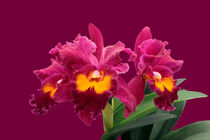 Orchidee BLC San Yang Ruby - blc orchid by monarch