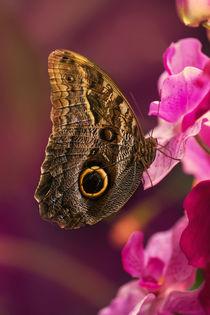 Blue Morpho butterly on pink flowers by Jarek Blaminsky