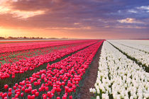 Rows of colourful tulips at sunrise in The Netherlands by Sara Winter