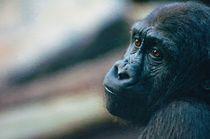 Sad Gorilla by Andrew Michael