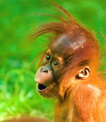 Cute Baby Orangutan by Andrew Michael