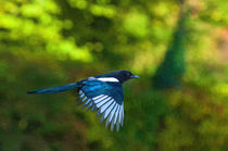 Magpie in flight by Andrew Michael