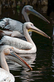 Three-pelicansele
