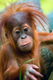Baby Orangutan 2 by Andrew Michael