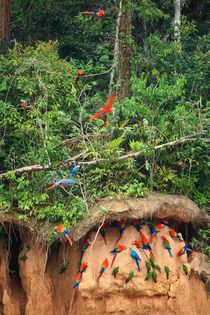 Papageien-Salzleckstelle im Amazonas Regenwald von Marita Zacharias