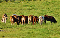 Img-2000-cows-sgnd
