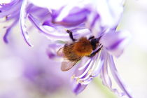 Bumblebee by fotoping