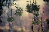 aghi di pino d'inverno al sole von Federico C.