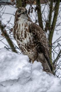 'The first snow - Buzzard' von Chris Berger