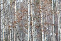 Birkenwald im Dezember Naturpark Schönbuch von Matthias Hauser