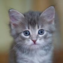 Sibirer Kitten / 1 by Heidi Bollich
