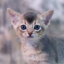 Abessinier Kitten / 21 von Heidi Bollich