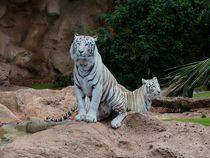 White-bengal-tiger-407029
