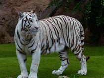 White-bengal-tiger-407026
