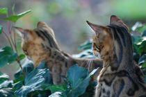 Bengal-cat-626676