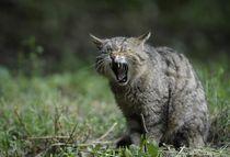 Wildcat-356805