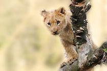 Löwen Baby by sigursson