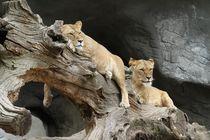 Lion-989141