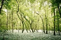 Bärlachblüte im Leipziger Auwald von Roland Hemmpel