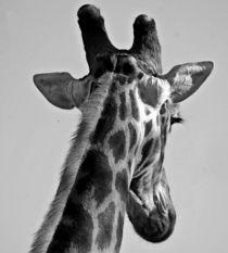 Giraffe von Herman Stadler