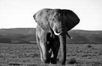 LONE ELEPHANT BULL von Herman Stadler