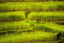 Ricefield in Thailand by Elias Branch