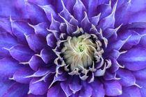 Clematis-lila-violett-3105