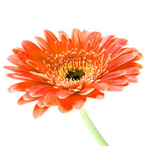 Gerbera-orange-sq